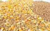 Jęczmień, kukurydza